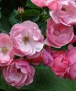 つるバラ 桃 2年生大苗□バラ苗 CL桃アンジェラ18cmLポット