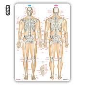 下敷き骨靱帯関節「骨と関節まるわかりシート」