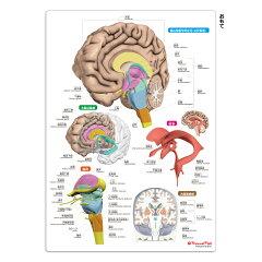「人体まるわかりシート」シリーズ第3弾「脳まるわかりシート」