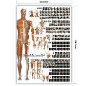【どーんとでっかい!】全身の骨格筋特大筋肉ポスター