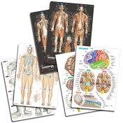 骨と関節&筋肉&脳まるわかりシート3枚セット