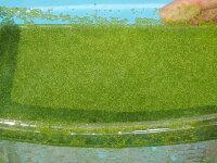 【おやじ厳選気まぐれセール!】ミジンコ浮草50g/ミジンコ藻【水草浮草淡水魚】紀の国めだか