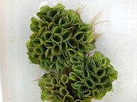 (水草)サルビニアククラータ5株/サンショウモ山椒藻水草浮き草鉢メダカアクアリウム