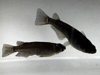(メダカ)オロチめだか未選別稚魚5匹/漆黒黒ブラックパンダメダカ淡水魚