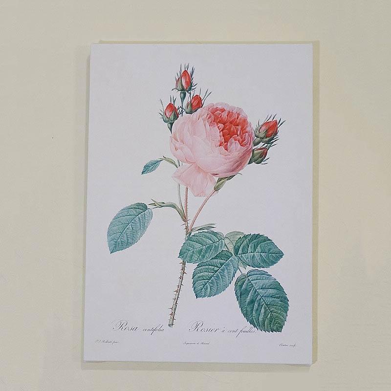 ルドゥーテ・キャンバス絵額 『美花選』A4サイズ【ロサ・ケンティフォリアG】
