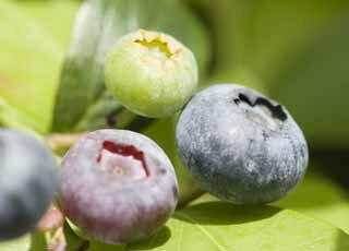 【送料無料】長野県産 減農薬栽培で生食や加工品にも最適な「生ブルーベリー 約2kg箱」
