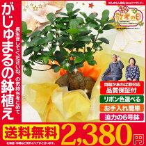りんごジュース+和風屏風付き、敬老の日ギフトにぴったりのがじゅまるの木