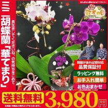 【敬老の日/送料無料】卓上ミニ胡蝶蘭アマビリス/おてまりみたいな「華てまり」