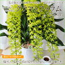 夏のフラワーギフトに最適◆ライトグリーンの花弁が爽やか!洋ラン グラマトフィラム 3本立 【蘭ギフト/送料無料】