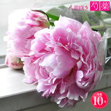 シャクヤク 芍薬 八重咲き ピンク 生花 10本 造花ではありません フラワーバイキング しゃくやく