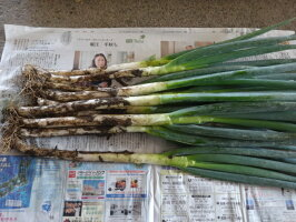 無農薬栽培こだわりの完熟ブルーベリー〈生食用〉1kg