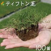 ティフトン芝ポット苗(キューブ苗)ティフトン芝419100苗20平米分暖地型西洋芝生: