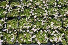 可愛いお花でグランドカバー。省管理型植物です。ヒメイワダレソウポット苗【24個】