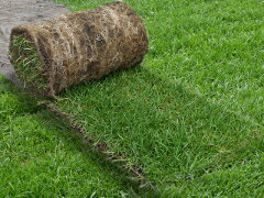 冬でも緑の芝生です。敷くだけ簡単施工!寒地型常緑ロール状芝生【ケンタッキーブルーグラス】...