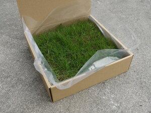 ティフトン芝ポット苗(キューブ苗)ティフトン芝41925苗5平米分暖地型西洋芝生: