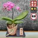 ミニ胡蝶蘭 ギフト 信楽焼 4.5号鉢 1本立 ピンク/お花 プレゼン...