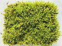 送料無料♪ワンコインシリーズ♪スナゴケ 12×10パック テラリウム 盆栽 盆景 管理説明書付き