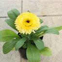 キンセンカ(矮性) 黄色 苗 9センチポット