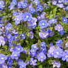 ブルーの小花いっぱい!ベロニカジョージアブルー苗9センチポット