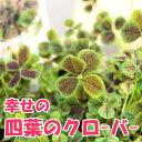 ◆四葉のクローバー 苗 9cmポット 四つ葉のクローバー