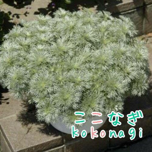 ◆アサギリソウ 朝霧草 苗 9センチポット