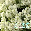 ◆アリッサム(スイートアリッサム)ホワイト 白 苗 6ポット...