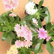 四季咲き レウィシア エリーゼミックス おまかせ
