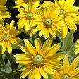 ◆【品評会受賞花】ルドベキア プレーリーサン 9センチポット 3号【05P30May15】