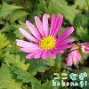 四季咲きマーガレットアンジェリクレモンパステル