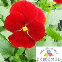 パンジー よく咲くスミレ クランベリー 10.5センチポット 3.5号 【P23Jan16】