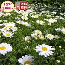【送料無料・12Pセット】クリサンセマム パルドサム (ノー...