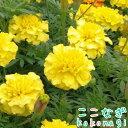【送料無料・12Pセット】マリーゴールド 矮性 イエロー 9センチポット 3号 花苗セット