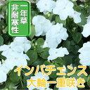 【送料無料・12Pセット】インパチェンス ホワイト 苗 9セ...