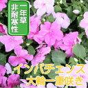 【送料無料・12Pセット】インパチェンス ピンク 苗 9セン...