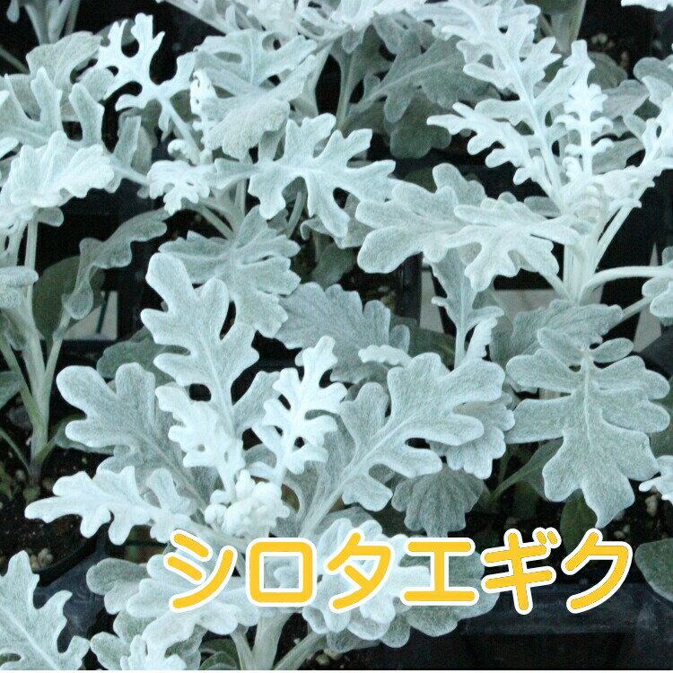 ◆シロタエギク 3ポットセット 苗 9センチポット 3号 しろたえぎく 白妙菊