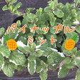 ハーブの苗★パイナップルミント 9センチポット【05P26Mar16】