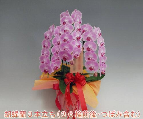 13%OFF☆『洋蘭の鉄人』森田さんが育てた胡蝶蘭3本立ち...