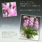 『洋蘭の鉄人』森田さんが育てたミディーサイズ胡蝶蘭3本立ち(18リン前後・つぼみ含む)/スーパーマーメイド