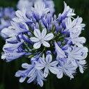 露地から掘り上げてお送りします!オリジナル品種! 見事な花付き!アガパンサス'青い空'苗 2株