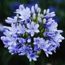 露地から掘り上げてお送りします!オリジナル品種! 見事な花付き!アガパンサス'ガーデン シ...