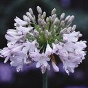露地から掘り上げてお送りします!オリジナル品種! とても柔らかな花色!アガパンサス'森の灯...