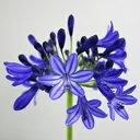 コンパクトな株姿の濃い花色!アガパンサス'インディゴ ボーイ