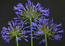 オリジナル常緑品種! 晩生の超巨大輪!アガパンサス'紫宝殿'