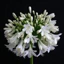 オリジナル品種! 大輪系・純白の花色!アガパンサス'白い雲'