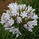 露地から掘り上げてお送りします!オリジナル品種! 花がらまで美しい銘花!アガパンサス'ガー...