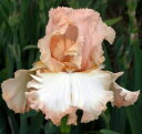 露地から掘り上げてお送りします!地植えで水やり・施肥不要! 春と秋の二季咲き! 芳香あり!...