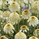 個性的な花姿!性質強靭で栽培容易!エキナセア'ミルクセーキ'苗1ポット
