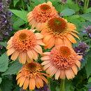 八重咲き種!性質強靭で栽培容易!エキナセア'シュプリームカンタロープ'苗1ポット