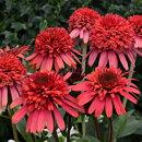 八重咲き種!性質強靭で栽培容易!エキナセア'シュプリームフラミンゴ'苗1ポット