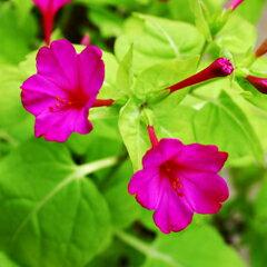 鮮やかなライム色の葉!ミラビリス(オシロイバナ)'ライムライト'1ポット